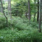 あかしやの森